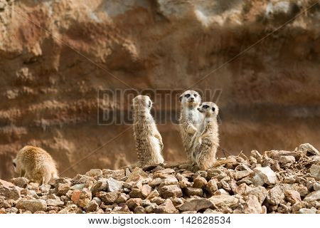 Family Of Meerkat Or Suricate