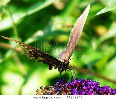 Swallowtail Butterfly with Proboscis in Purple Flower