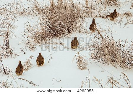 A flock of partridges moves one after another in a snow-covered steppe