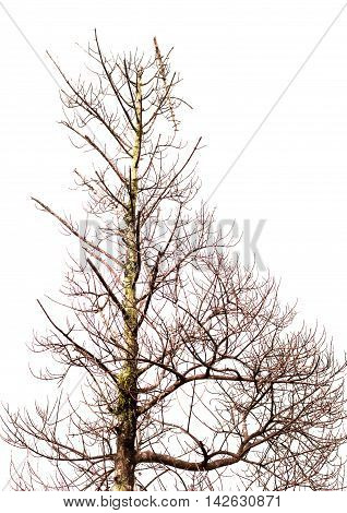 The Tree Is Not Leaves And Branch Of Dead Tree Isolated On White Background