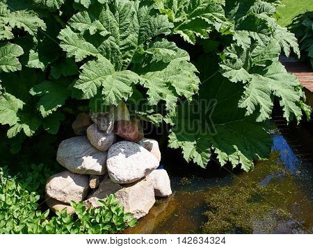 Exotic large leafed plant Gunnera Manicata known as Brazilian giant-rhubarb in a beautiful tropical garden