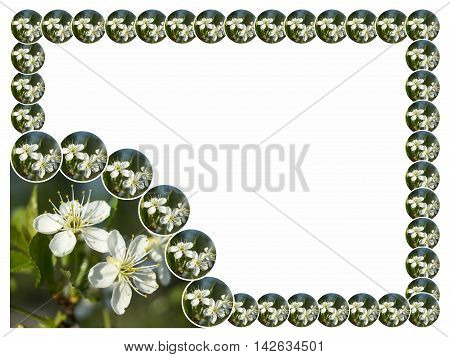Spring blossom to cherries in garden is insulated on white background