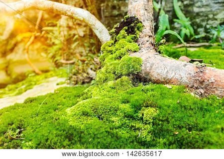 Nature background. Closeup moss on growth log with bright sunlight outdoor at the daytime. Shallow depth of field, selective Focus. Beauty tree with moss cover. Nature green wood sunshine backgrounds.