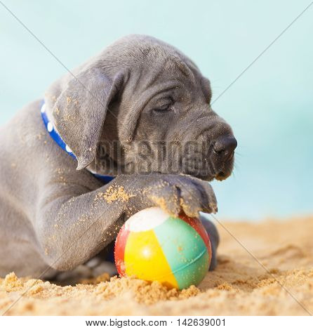 Great Dane purebred puppy with its paw over a small beach ball