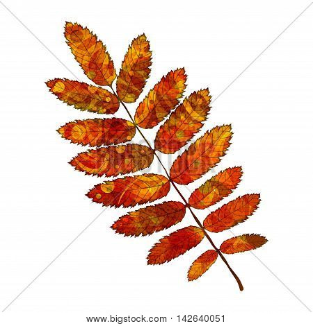 Bright red rowan leaf with veins like watercolor on a white background. Vector illustration.