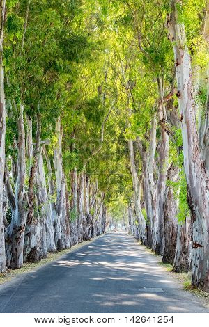 View of Eucalyptus alley in Kolymbia. Rhodes island Greece Europe
