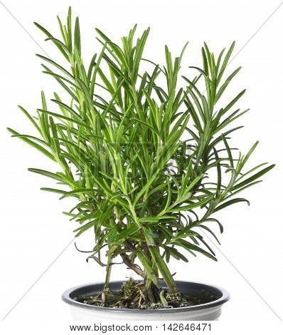Fresh rosemary branches, rosemary herb in a plant pot.