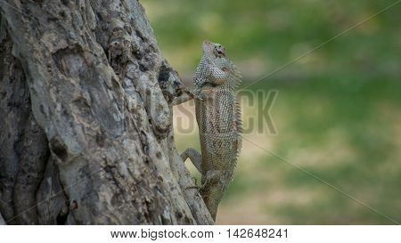 Ceylon chameleon on the tree. Ceylon chameleon on the tree in the village of Koggala Sri Lanka.