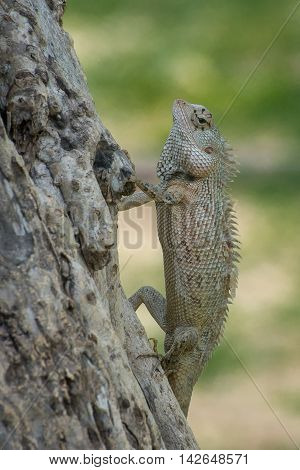 Ceylon chameleon on the tree in the village of Koggala Sri Lanka.