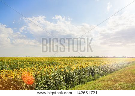 Landscape with a field of blooming yellow sunflowers with sun glare against a blue sky with white clouds backlit