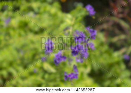 Blur, macro purple grass flower in garden with blur background ,Purple flower in nature, spring flowers, blooming flowers, flora background