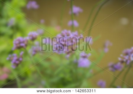 Blur, macro purple grass flower in garden with blur background ,Purple flower in nature, spring flowers, blooming flowers, flora background