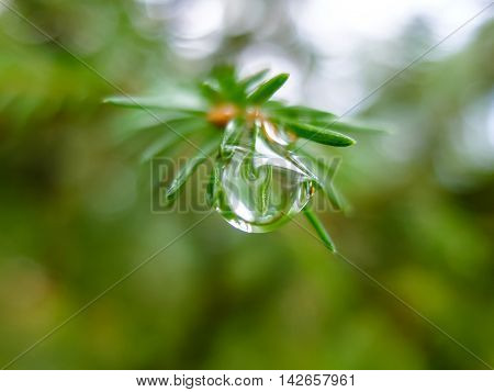 Dew drop on a spruce branch macro. Nature forest morning. Fir needles with water drops. Beautiful nature in detail.