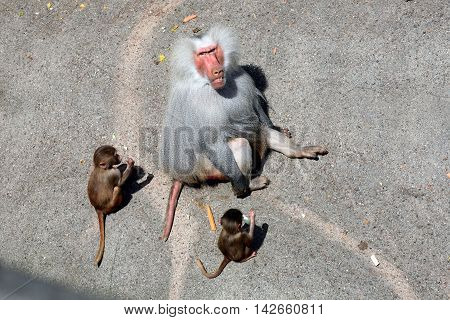 Hamadryas baboon (Papio hamadryas), male and juvenile, a monkey from the Horn of Africa and Arabian Peninsula