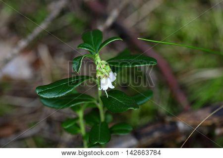 Flowers of a wild lingonberry (Vaccinium vitis-idea)