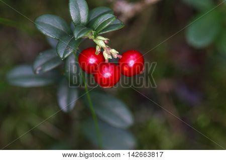 Berries of a wild lingonberry (Vaccinium vitis-idea)