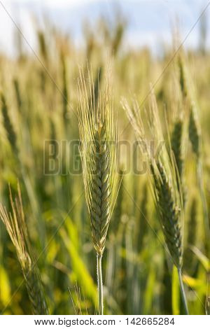 Wheat Spikelets In Soft Sunlight