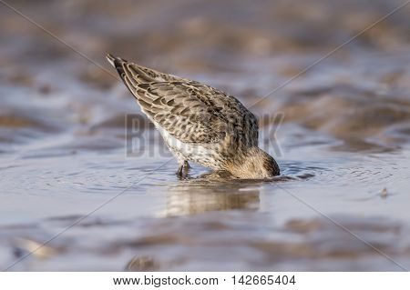 Dunlin, Calidris Alpina, Standing In The Sea, Drinking