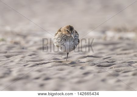 Dunlin, Calidris Alpina, Standing On The Sand On One Leg
