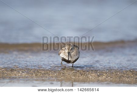 Dunlin, Calidris Alpina, Standing On The Shoreline, In The Sea