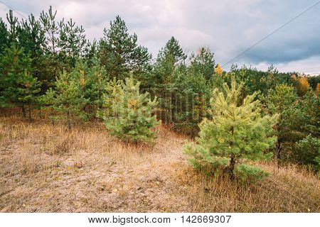 Pine Trees In Autumn Coniferous Forest Reserve Park. Nature Of Evergreen Coniferous Forest. Scenic View. Nobody