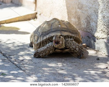 Earthen Turtle Crawling In Early Morning On Track