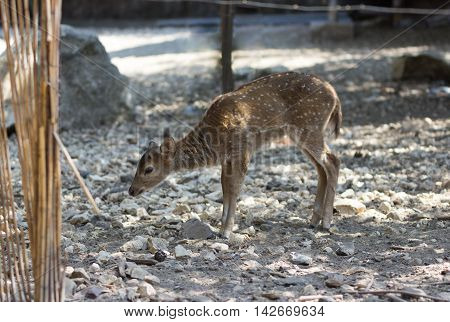 Spotted Fawn Looking For Food On Ground