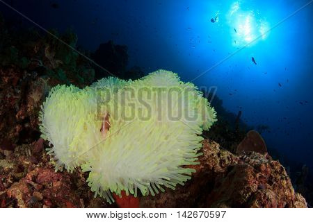 Bleached white anemone on coral reef