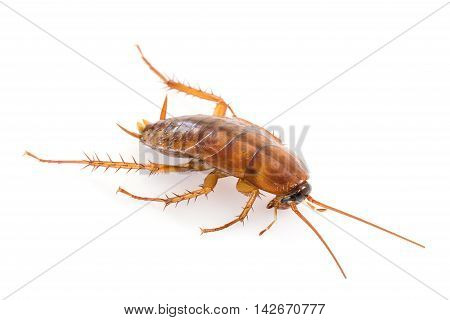 Close Up Dead Cockroach On White