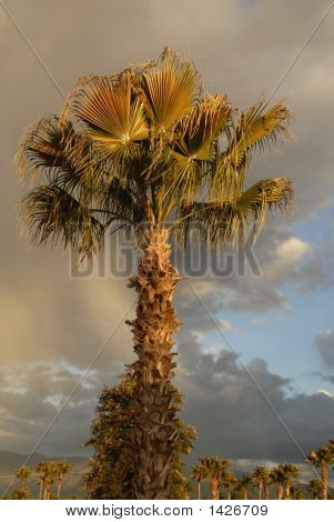 Desert Palm After A Rainstorm