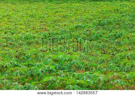 Cassava plantation farm in  North of Thailand