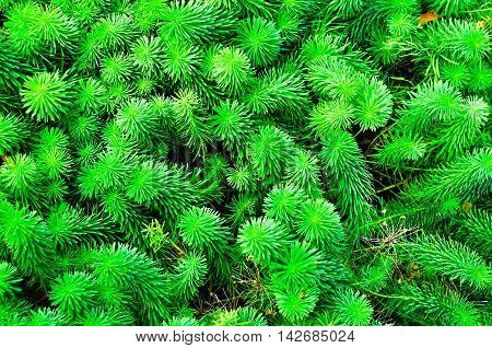 Sprouts of Euphorbia cyparissias the cypress spurge is a species of plant in the genus Euphorbia. Summer flower natural landscape.