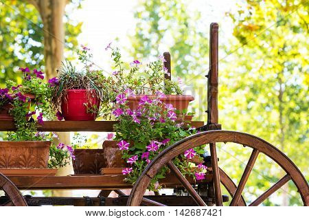 Old wooden cart with pink petunia colorful flowers with copy space