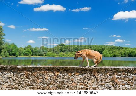 old brown dog on wall in nature landscape with lake