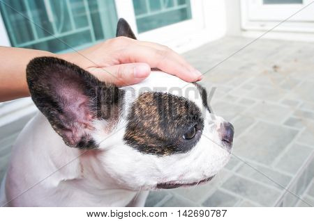 Someone is groping a dog , french bulldog