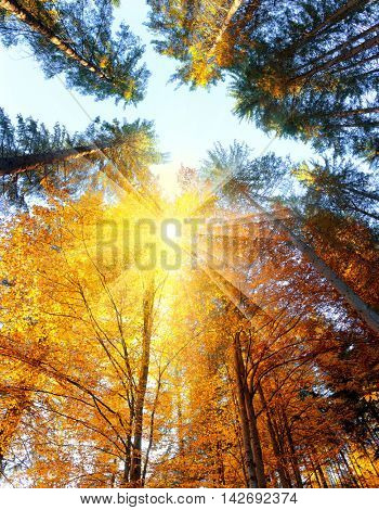 Colorful Autumn Trees with sunbeams - beautiful sesonal  background, fall in the forest, big size