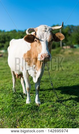 Cow grazing in the meadow  farming, livestock