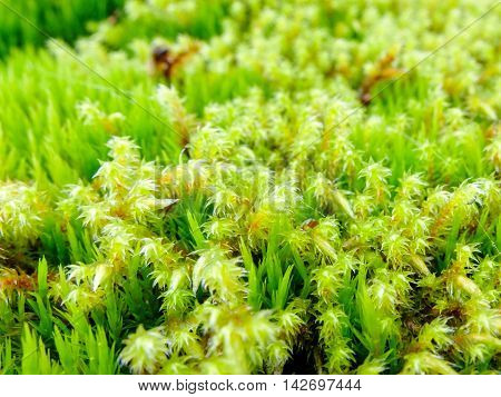 Moss macro fresh and lush. Plant the moss covering the stones. Soft plant of the North.