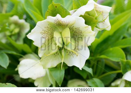 White hellebore flower also known as Christmas Rose