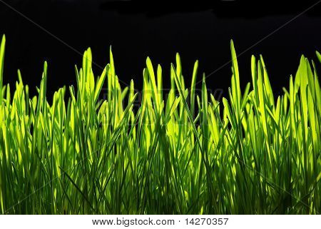 Green grass isolated on black background
