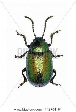 Green Dock Beetle on white Background  -  Gastrophysa viridula (DeGeer, 1775)