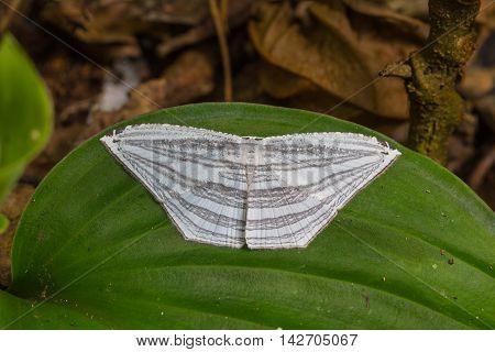 Moth On A Green Leaf