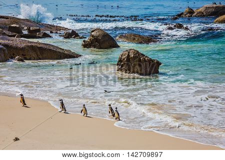 Boulders Penguin Colony in the Table Mountain National Park. African black-white penguins. The concept of active and ecotourism. Huge boulders on the beach of the Atlantic Ocean