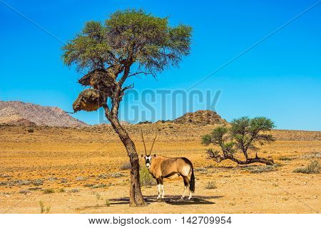 Travel to Namibia.The concept of exotic tourism. Dirt road in the African steppe. Oryx grazing in the savannah