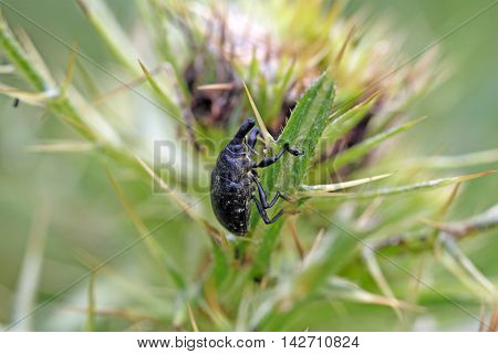 A black snout beetle on a thistle.