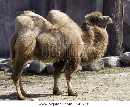 Two Hump Camel http://www.bigstockphoto.com/image-1427126/stock-photo-two-hump-camel-asia