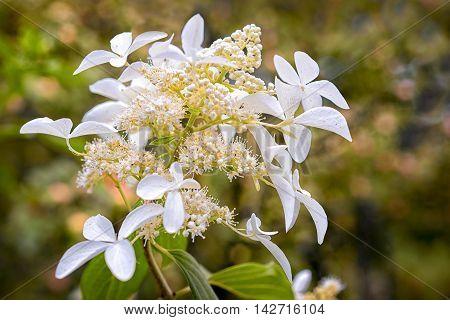 Blossom Of White Hydrangea (hortensia) In A Garden