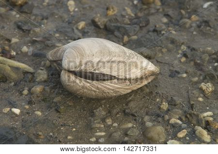 Close-up of a fresh clam during Low Tide along a shoreline in Delaware
