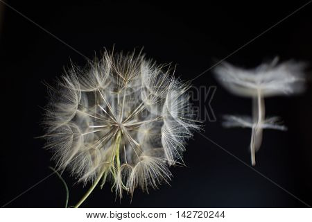 Beatiful Dandelion Salsify on a black background