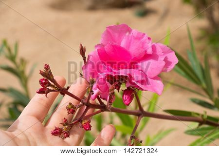 Beautiful pink flower in a female hand outdoor